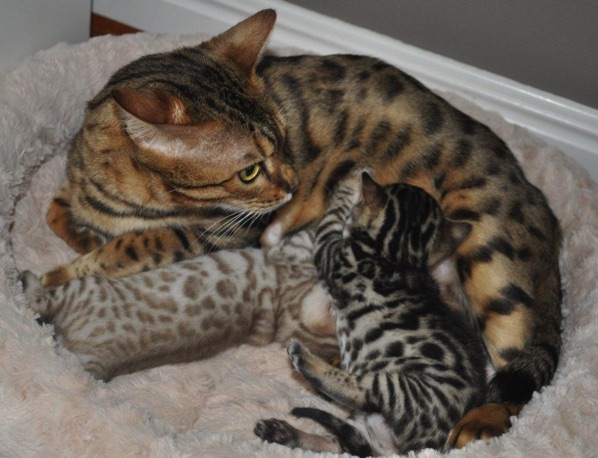 buy bengal kitten australia flag